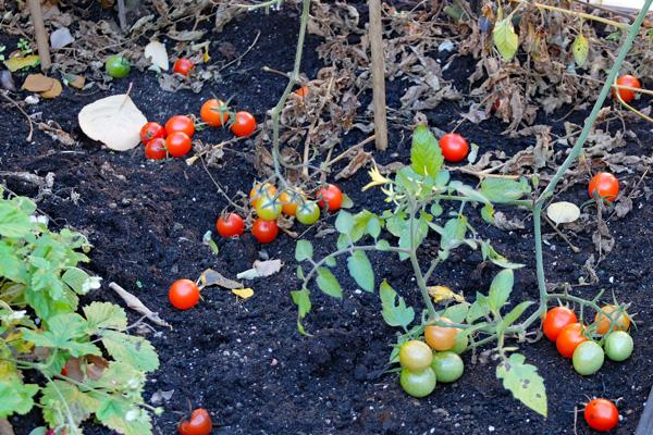 Tomater i kvarteret Tumstocken
